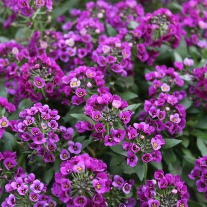 Лобулярия Фиолетовая королева (серия Сад ароматов)