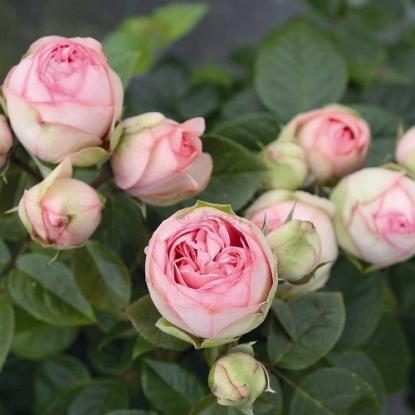 Роза Чарминг Пиано