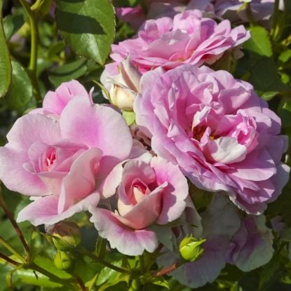 Роза Боника штамбовая
