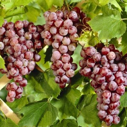Виноград Спулга