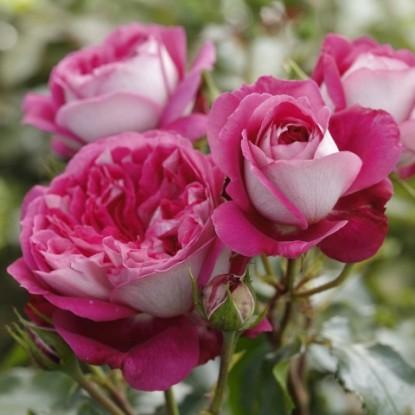 Роза Максим