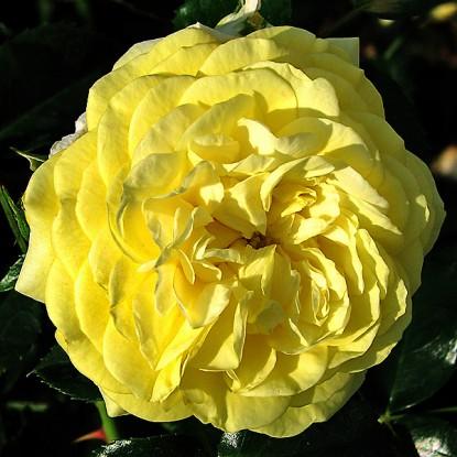 Роза Солеро KORDES
