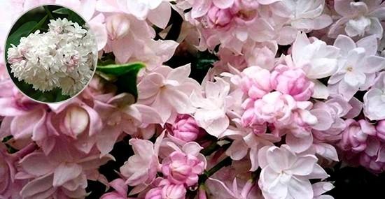 Нежнейшие лилии