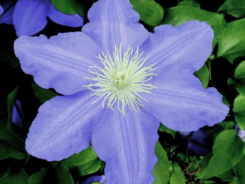 Цветы клематис купить харьков