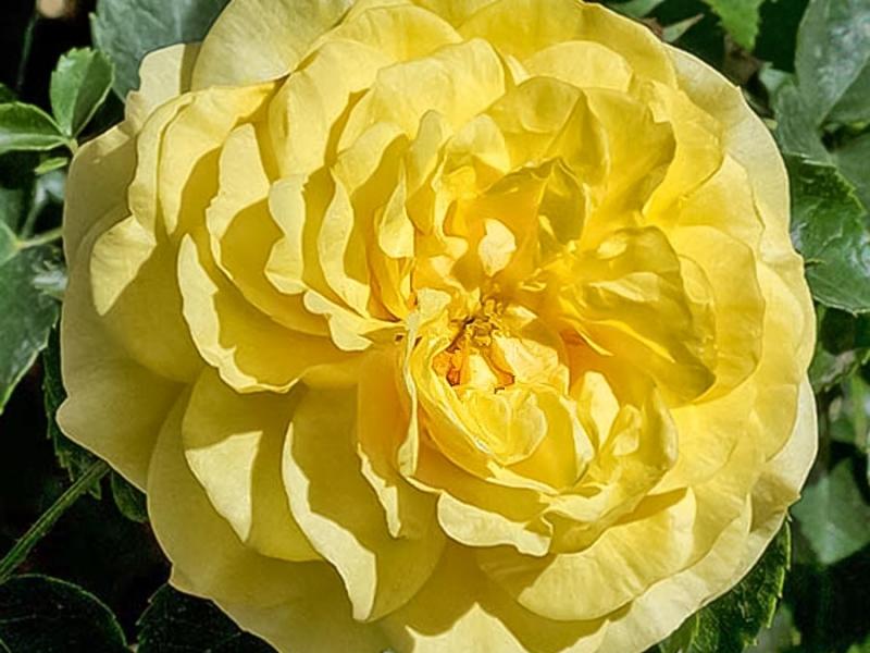 Роза Солеро