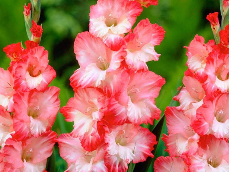 Магазин водных, цветы гладиолусы где купить