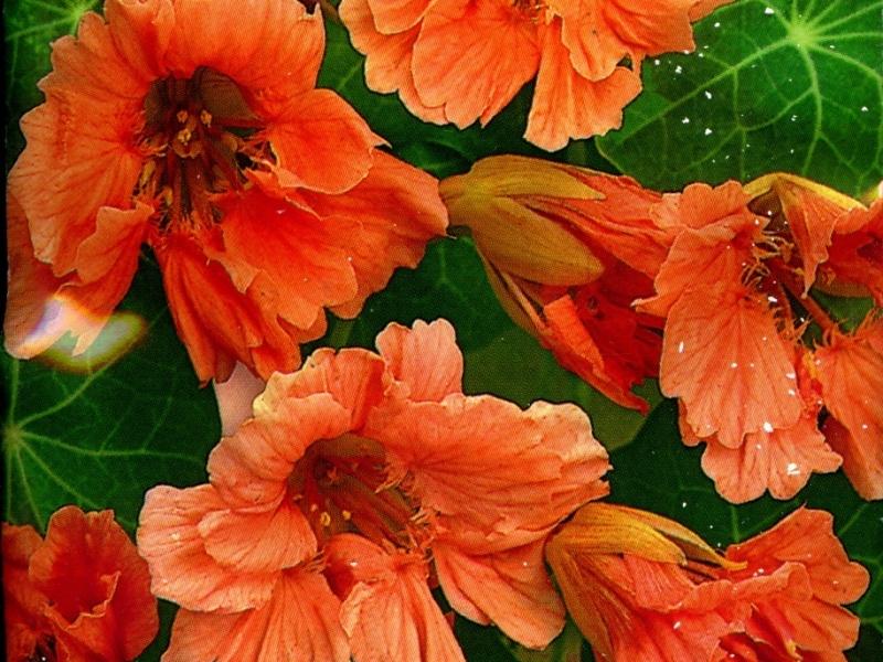 создать цветы настурция фото махровая это