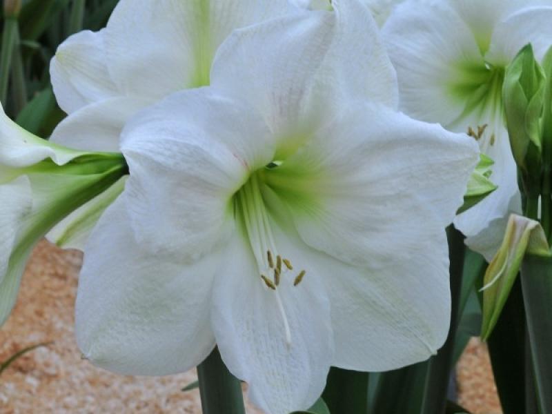Цветы амариллис купить москва