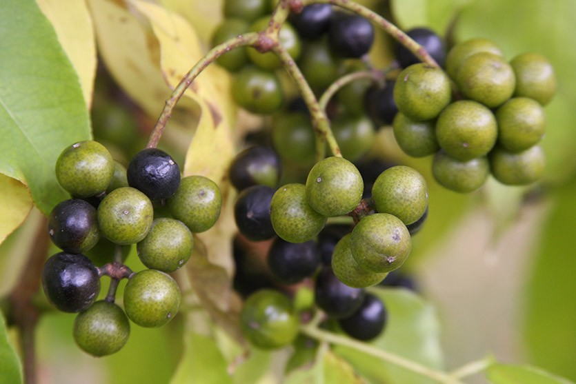 Плоды бархата