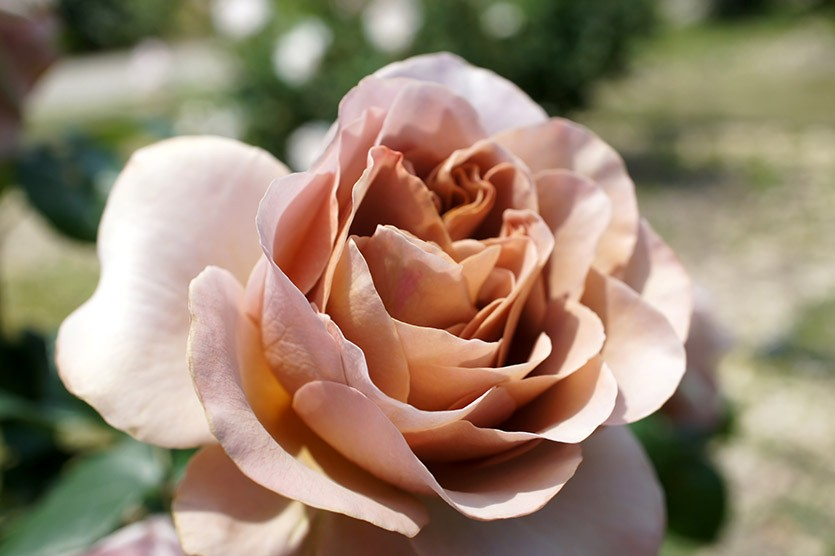 Роза кофе-латте