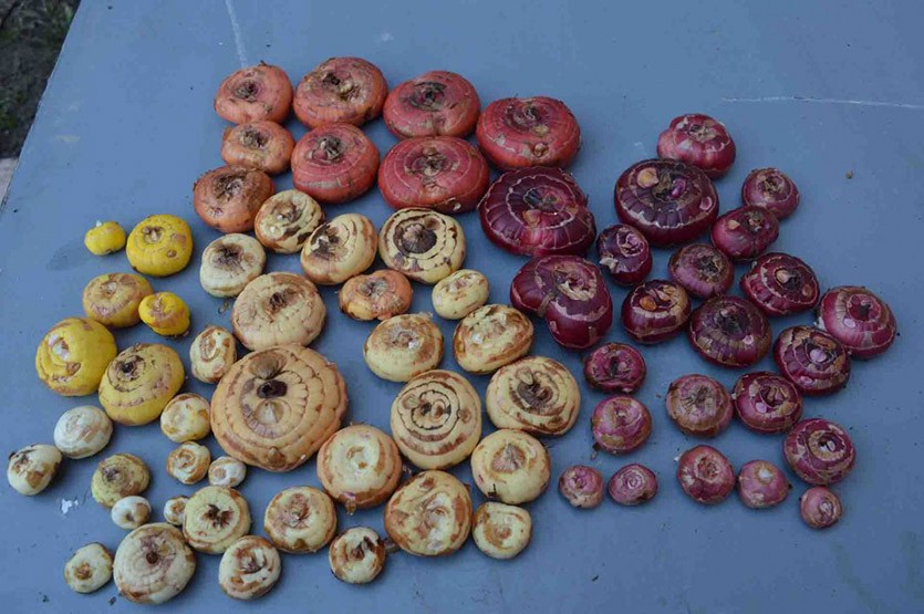 Луковицы гладиолусов