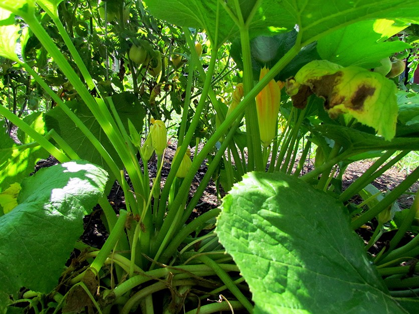 Пустоцветы кабачка