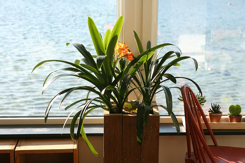 Кливия у окна