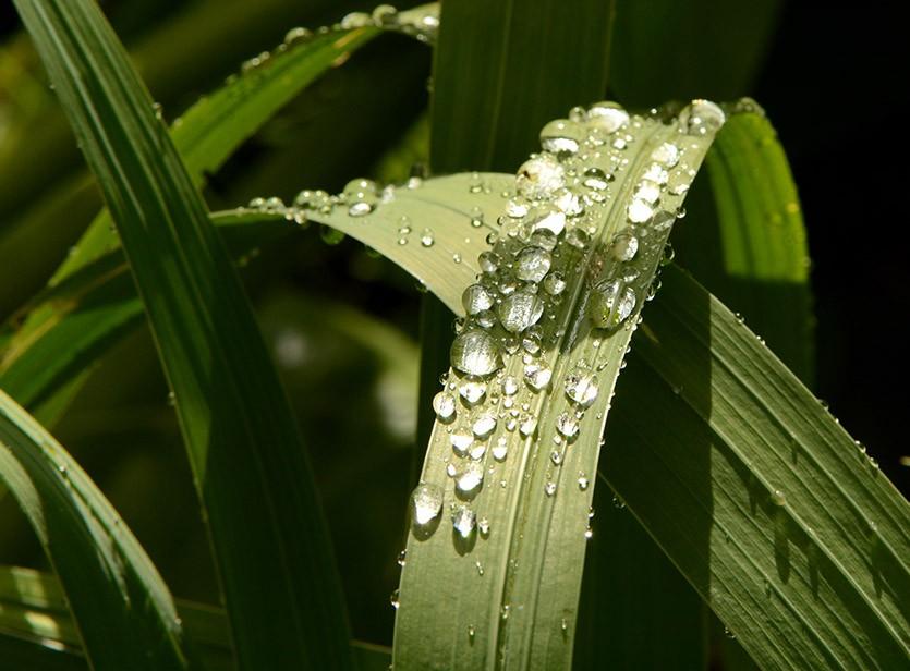Листья гладиолусов