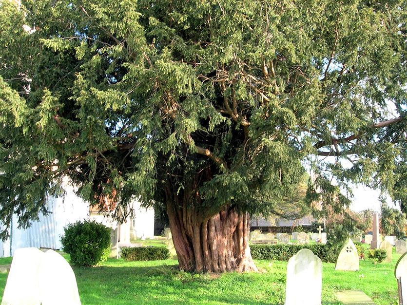 Тис дерево