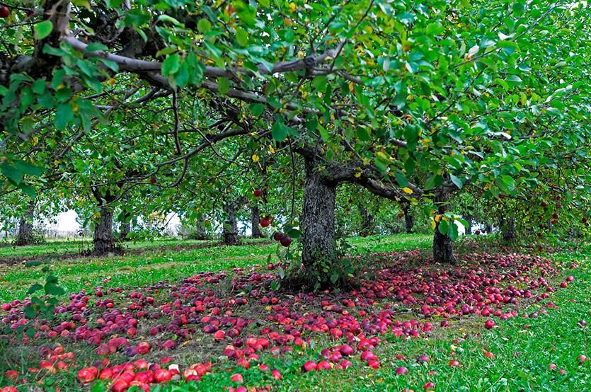 Опад яблок