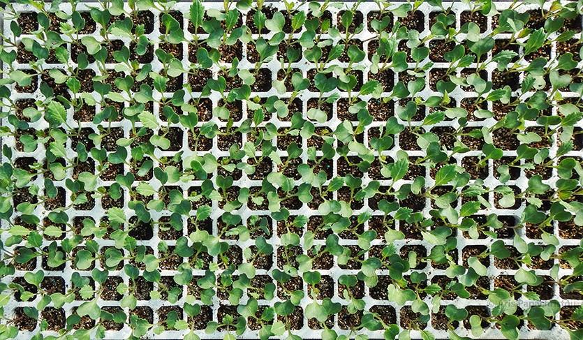 Рассада капусты