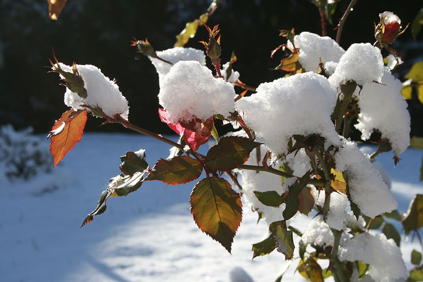 Розы укрытие на зиму