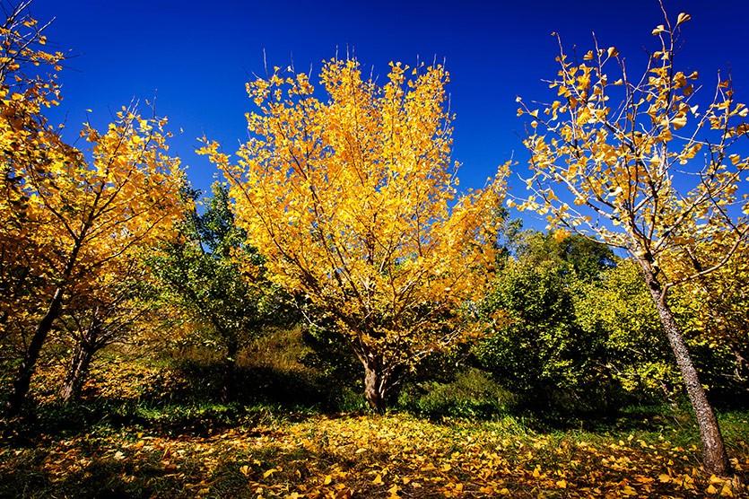 Роща гинкго осенью