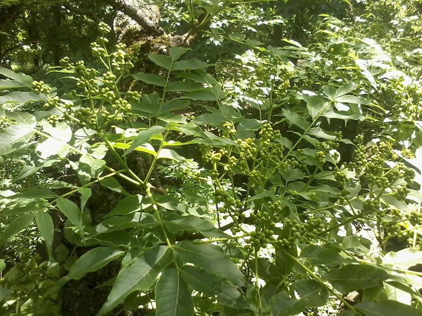Листья бархата