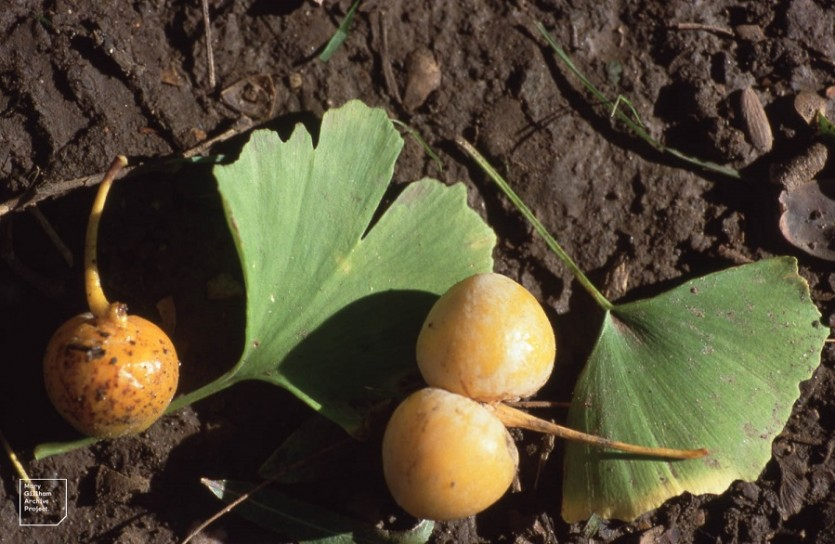 Гинкго плоды