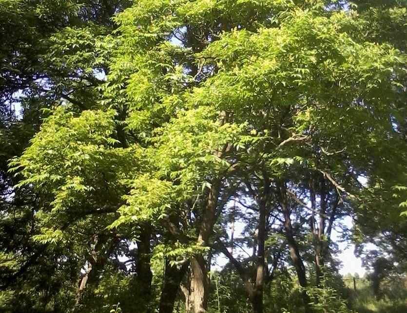 Взрослое дерево бархата