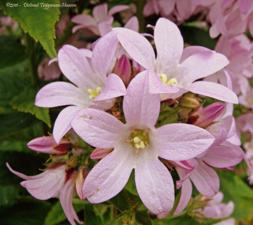 Колокольчик молочноцветковый