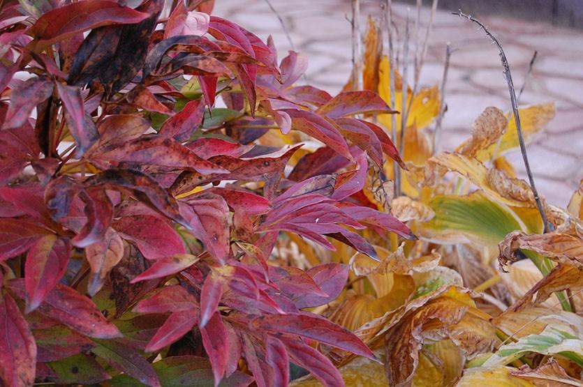 Пионы осенью