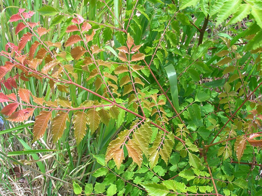 Листья кёльрейтерии