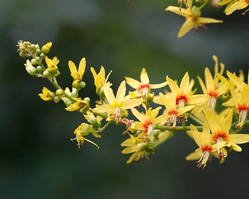 Цветение кёльрейтерии