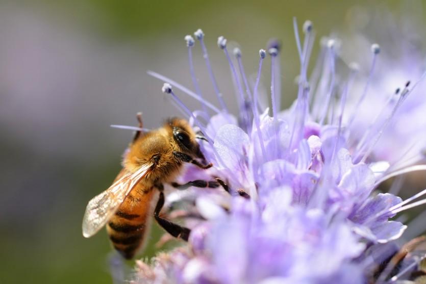 Фацелия пчела