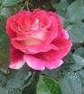 Роза кроненбург.