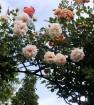 Penny lane climbing rose