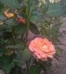 Флора даника