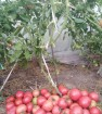 Розовый спам. томат