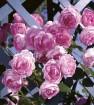 Rose jasmina arborose