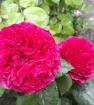 Роза 4-х ветров - rose des 4 vents