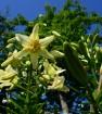 Лилии моего сада
