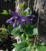 Клематисы в саду