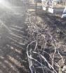 Вот так у нас укрывают виноград на зиму