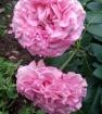 Мои розы сентябрь.