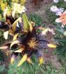 Лилии в моем саду 2018