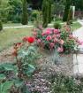 Розы в моем саду. 2018.