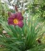 Лилейник, или красоднев, или гемерокаллис, относится к семейству лилейных.  Немногочисленные виды рода Лилейник (Hemerocallis) распространены в Восточной Азии.