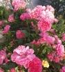Розовый рай 2019