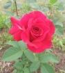 розы 2016
