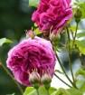 Rose leopold ritter