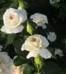 Роза шнеевальцер