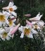 Лилия трубчатая