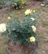 Lichtkonigin lucia, роза